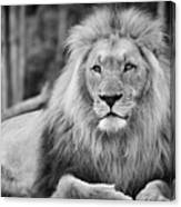 Majestic Male Lion Black And White Photo Canvas Print