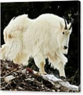 Majestic Mountain Goat Canvas Print