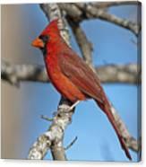 Majestic Mr. Redbird Canvas Print