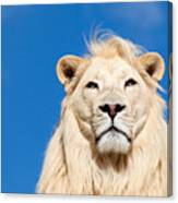 Majestic White Lion Canvas Print