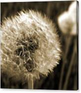 Make-a-wish Dandelion Sepia Canvas Print