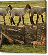 Makeway For Lambs Canvas Print
