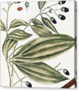 Malabar Cinnamon, 1735 Canvas Print