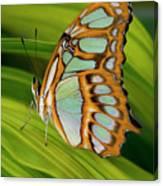 Malachite Butterfly (siproeta Stelenes) On Rhapis Palm Leaves (rhapis Excelsa) Canvas Print