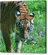 Malayan Tiger # 2 Canvas Print