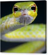 Malayan Vine Snake Canvas Print