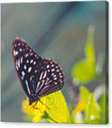 Malaysian Butterfly Canvas Print