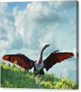 Male American Anhinga  Canvas Print