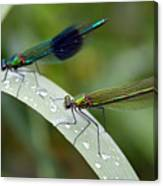 Male And Female Damsel Fly Canvas Print