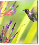 Male Anna's Hummingbird Canvas Print
