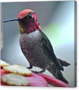 Male Anna's Hummingbird On Feeder Perch Canvas Print