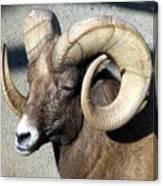 Male Bighorn Sheep Ram Canvas Print