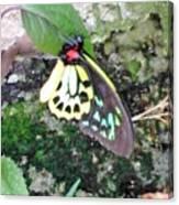 Male Birdwing Butterfly Canvas Print