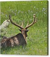 D10270-male Elk  Canvas Print
