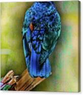 Male Fairy Bluebird Canvas Print