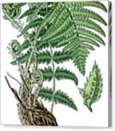 male fern, Dryopteris filix-mas Canvas Print