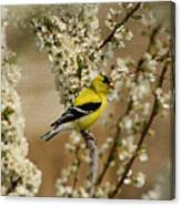 Male Finch In Blossoms Canvas Print