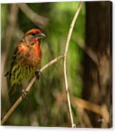 Male Finch In Red Plumage Canvas Print
