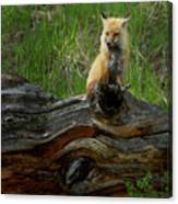 Male Fox-signed   #3569 Canvas Print