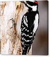 Male Hairy Woodpecker Canvas Print