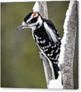 Male Hairy Woodpecker Canvas Print