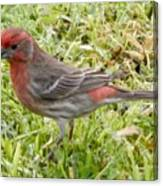 Male House Finch Canvas Print