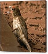 Male House Finch V10 Canvas Print