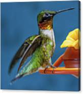 Male Hummingbird Spreading Wings Canvas Print
