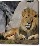 Male Lion Resting In The Warm Sunshine Canvas Print