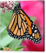 Male Monarch Canvas Print