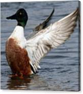 Male Northern Shoveler Wing Flapping Canvas Print