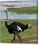 Male Ostrich Canvas Print
