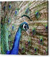 Male Peacock Displaying Canvas Print