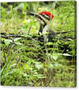 Male Pileated Woodpecker On The Ground No. 2 Canvas Print