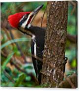 Male Pileated Woodpecker Canvas Print