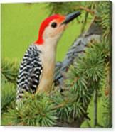 Male Red Bellied Woodpecker In A Tree Canvas Print