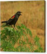 Male Red-winged Blackbird Singing Canvas Print