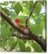 Male Summer Tanager Canvas Print