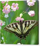Male Tiger Swallowtail 5416 Canvas Print