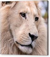 Male White Lion ... Thabo Canvas Print