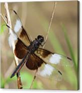 Male Widow Skimmer Dragonfly #3 Canvas Print
