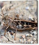 Male Wrinkled Grasshopper Canvas Print