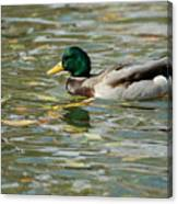 Mallard Among The Fallen Leaves Canvas Print