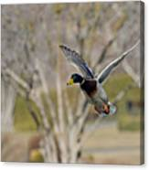 Mallard Approach Canvas Print