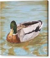 Mallard Drake Canvas Print