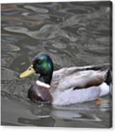 Mallard Drake Duck Canvas Print
