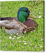 Mallard Drake In The Grass Canvas Print