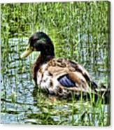 Mallard Duck 1 Canvas Print
