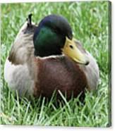 Mallard Duck #2 Canvas Print