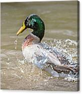 Mallard Duck Bathing Time In Dam Canvas Print